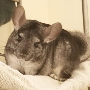 do-chinchillas-recognize-their-owners