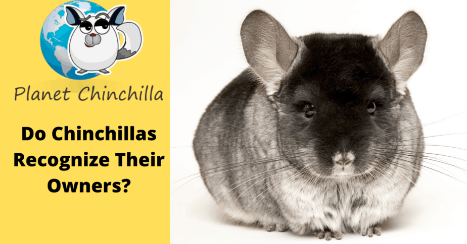 do-chinchillas-get-attached-to-thier-owners