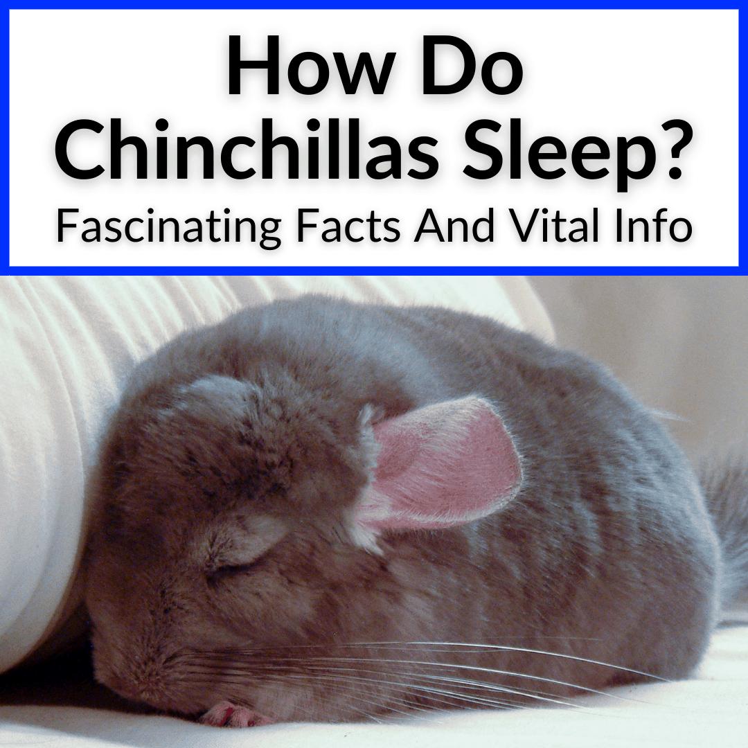 How Do Chinchillas Sleep