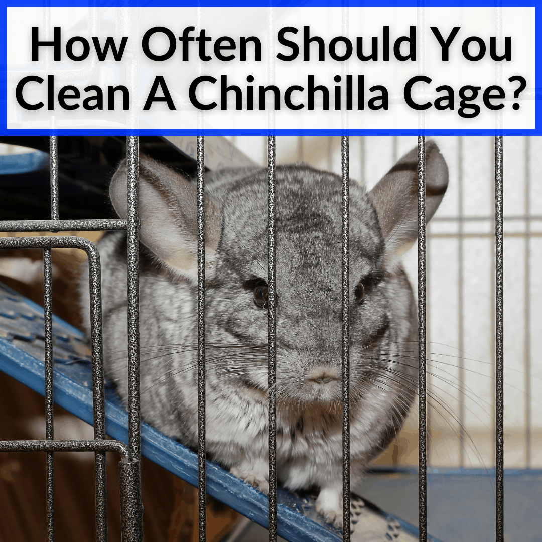 How Often Should You Clean A Chinchilla Cage