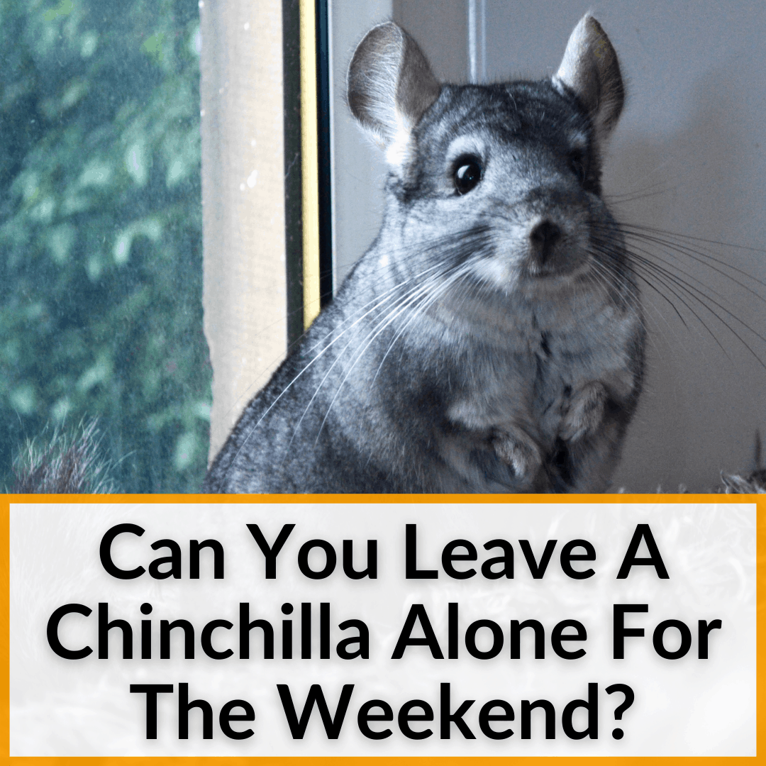 Can You Leave A Chinchilla Alone For The Weekend