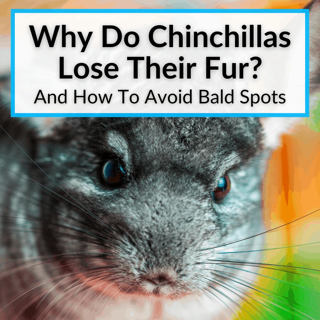 Why Do Chinchillas Lose Their Fur