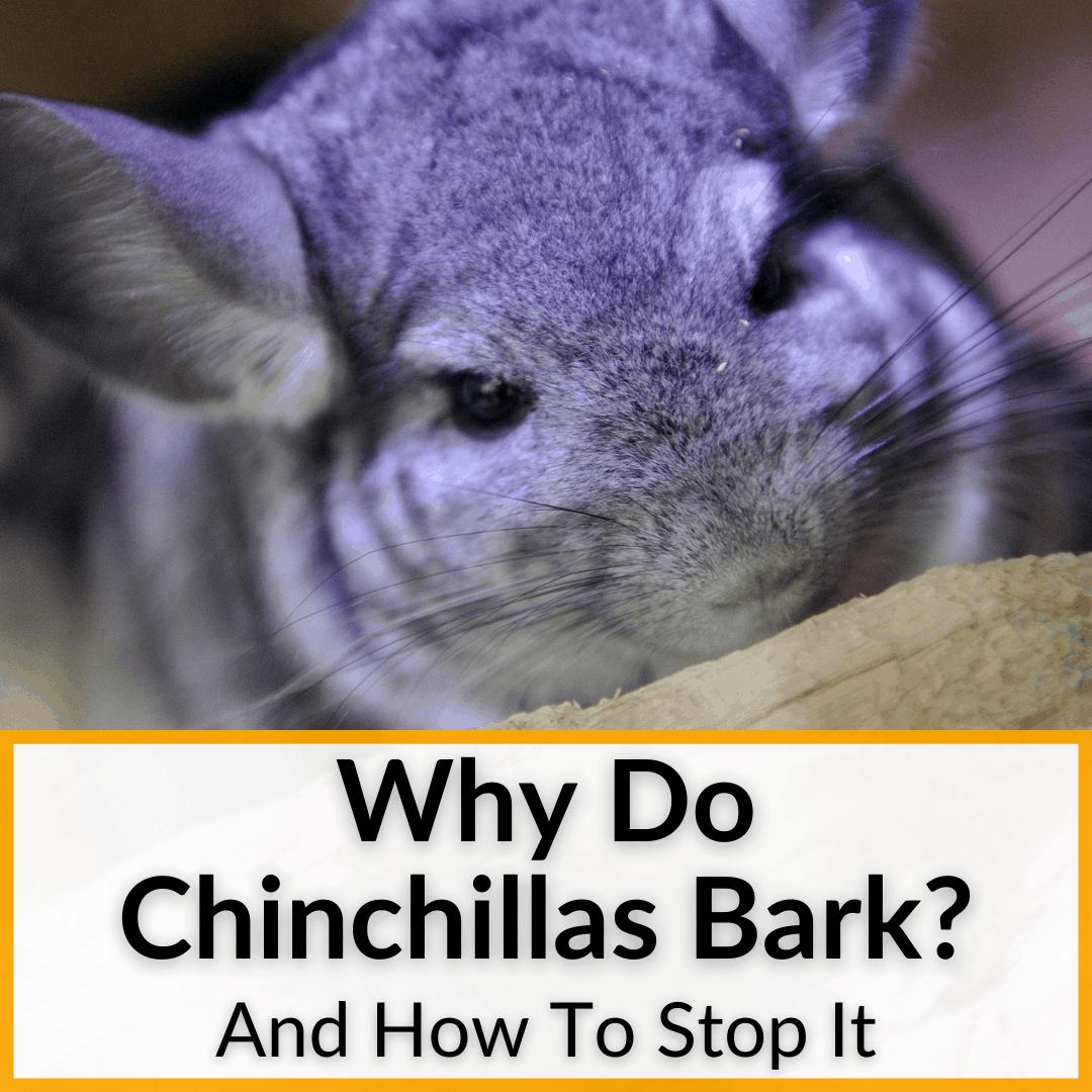 Why Do Chinchillas Bark