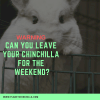 can-you-leave-a-chinchilla-alone-for-the-weekend-white-chin