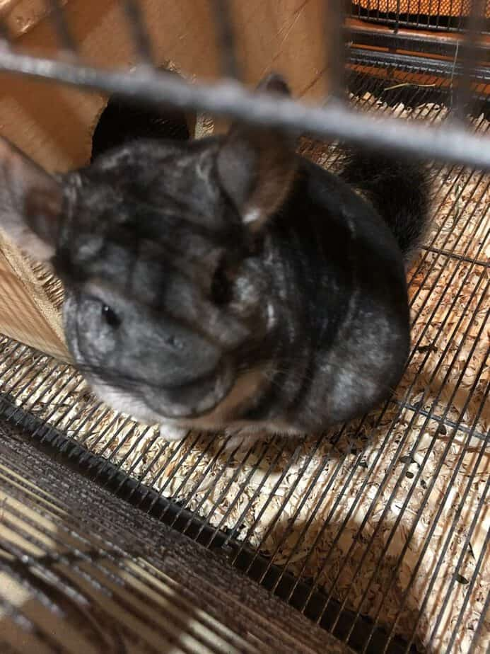 do-chinchillas-shed