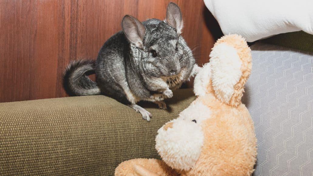 chinchilla playing with teddy bear