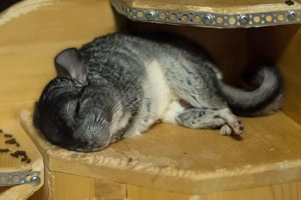 Chinchilla sleeping on its side