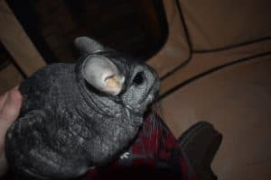 friendly-chinchilla-me-petting-my-chinchilla