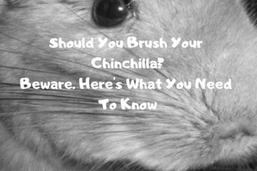 should-you-brush-a-chinchilla