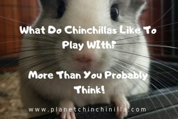 what-do-chinchillas-like-to-play-with-white-chinchilla