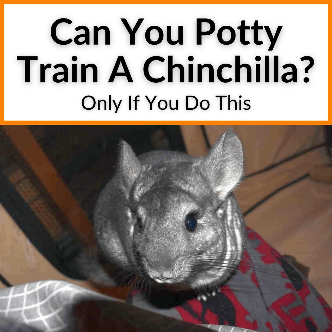 Can You Potty Train A Chinchilla