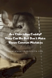 are-chinchilla-cuddly