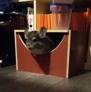 chinchilla in wooden box