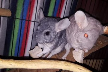 can-chinchillas-play-with-dogs