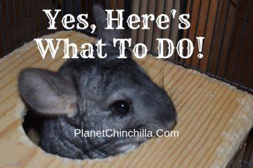 do-chinchillas-pee-chinchilla-box