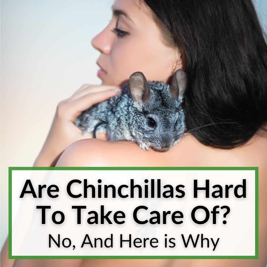 Are Chinchillas Hard To Take Care Of