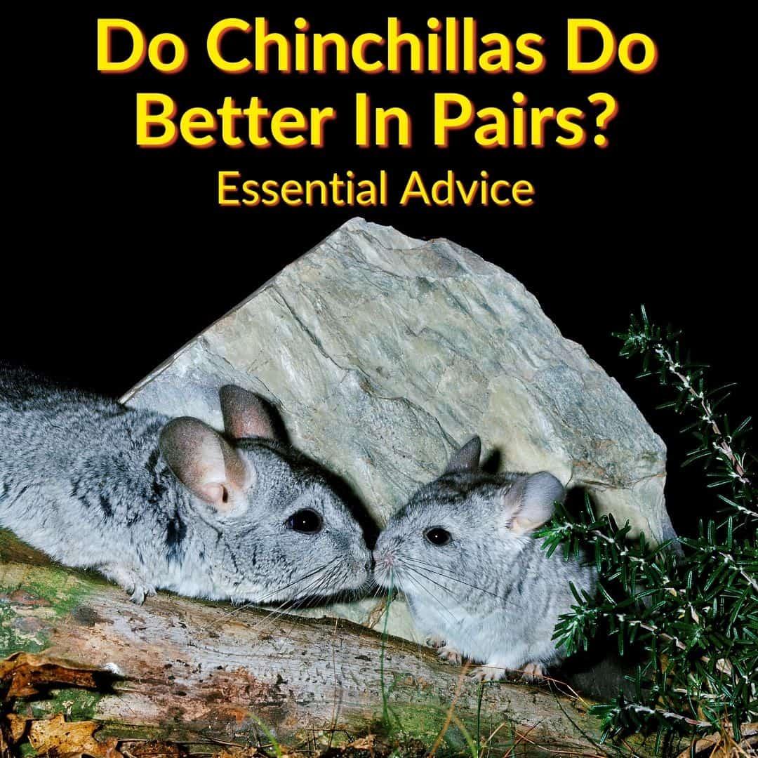 Do Chinchillas Do Better In Pairs