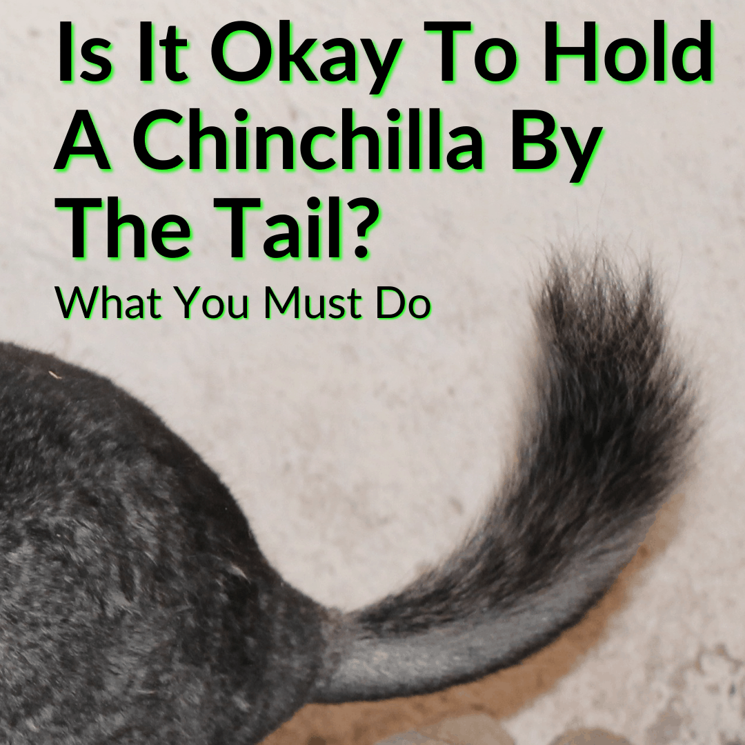 Is It Okay To Hold A Chinchilla By The Tail