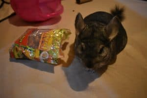can-chinchillas-climb-my-chinchilla-playing-with-treats