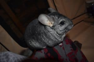 why-are-chinchillas-so-expensive-chinchilla-on-my-leg