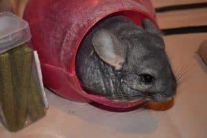 chinchillas-shouldn't-get-wet-dust-bath-and-chinchilla-dust