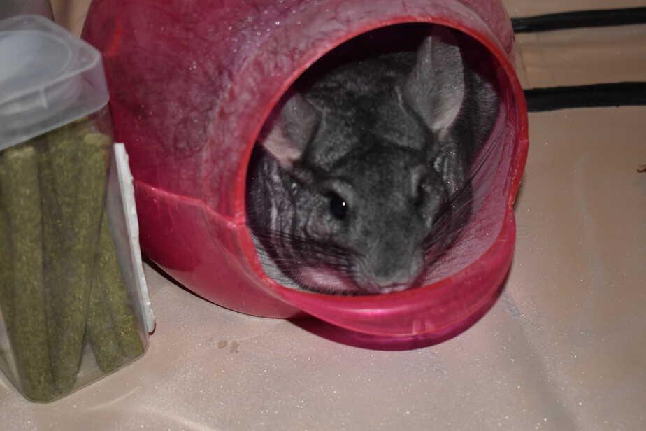 chinchilla taking dust bath
