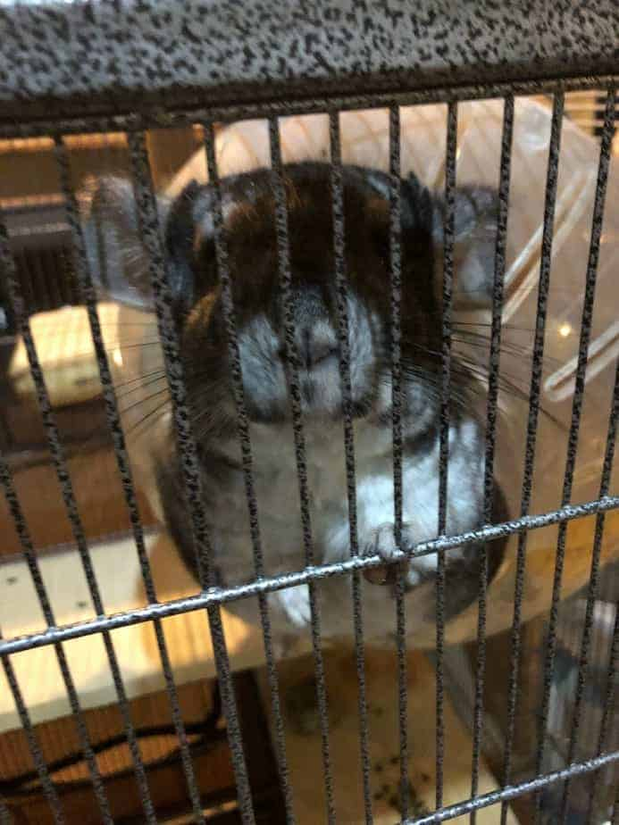 are chinchillas hard to care for