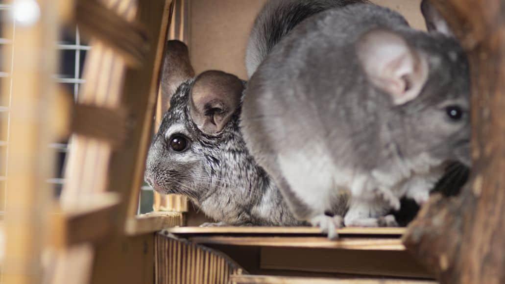 two chinchillas sharing an enclosure