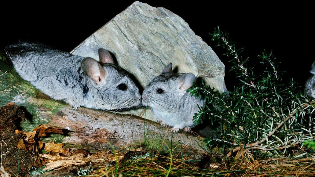 chinchillas mating