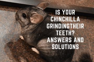 why do chinchillas grind their teeth