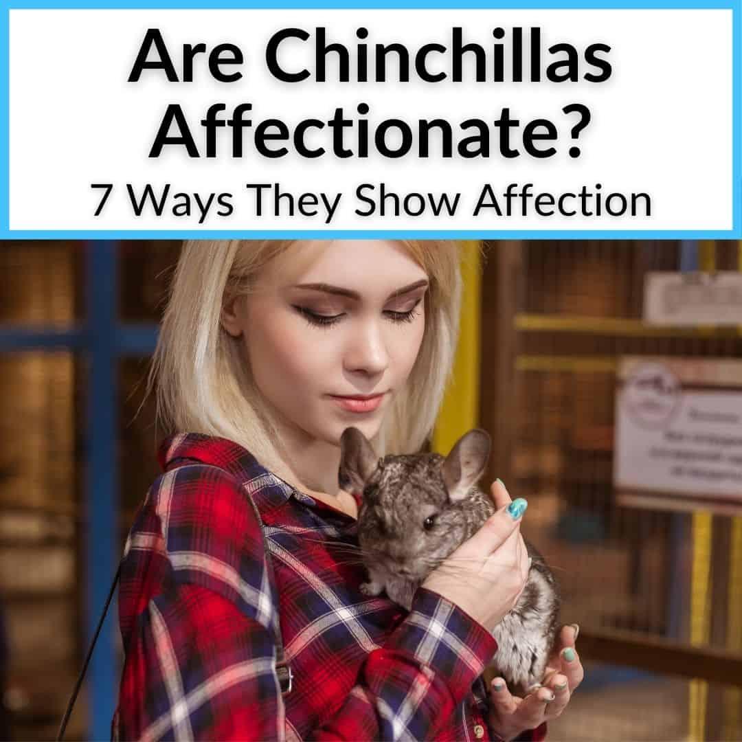 Are Chinchillas Affectionate