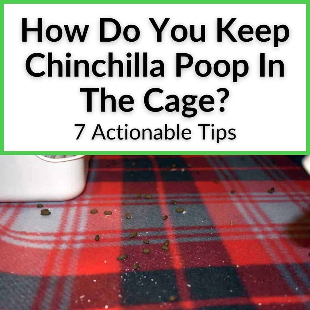 How Do You Keep Chinchilla Poop In The Cage