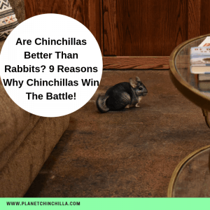 are chinchillas better than rabbits