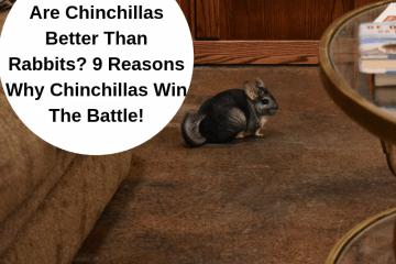 are chinchillas better than rabbits