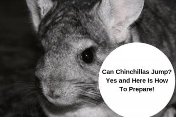 can chinchillas jump gray chinchilla