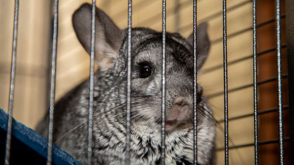 a chinchilla that does not bark