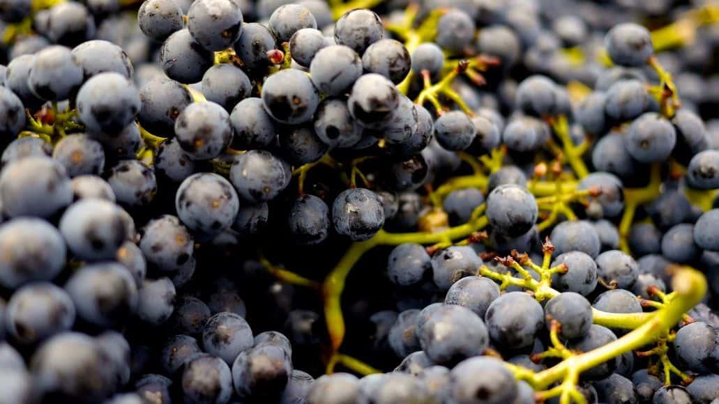 grapes as chinchilla treat