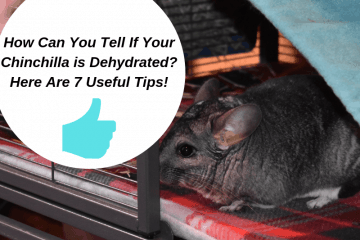 how-can-you-tell-if-your-chinchilla-is-dehydrated