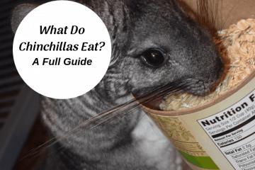 What-do-chinchillas-eat