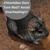 why-do-chinchillas-ear-turn-red