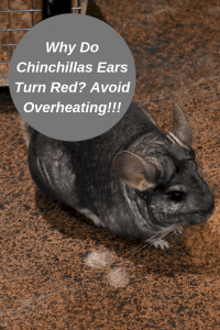 why-do-chinchillas-ear-turn-red