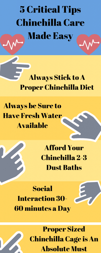 info graphic with 5 tips for chinchilla care tips