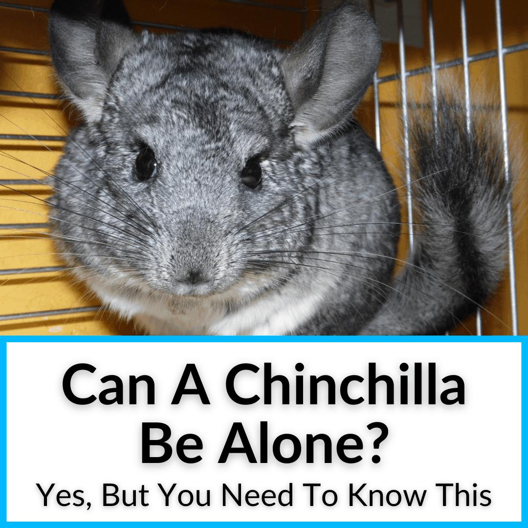 Can A Chinchilla Be Alone