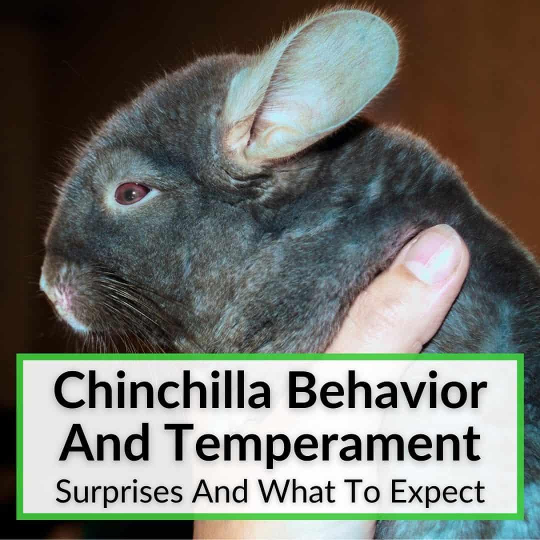 Chinchilla Behavior And Temperament