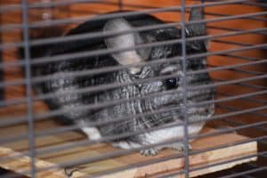 chinchilla inside of her cage