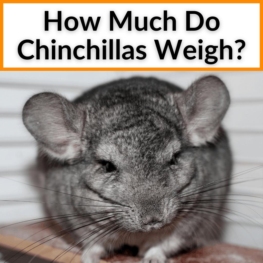 How Much Do Chinchillas Weigh