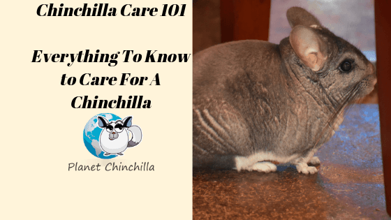 chinchilla-care-caring-for-chinchillas