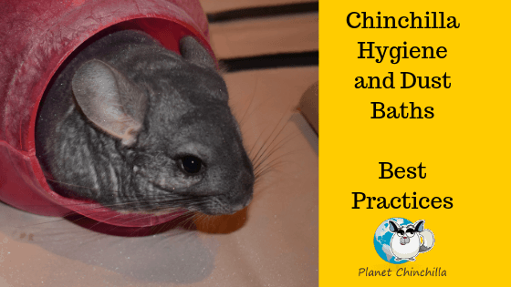 chinchilla-hygiene-chinchilla-dust-bath