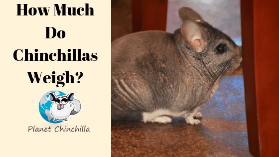 how-much-do-chinchillas-weigh