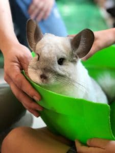 how-often-do-i-need-to-play-with-my-chinchilla